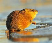 Sunset Muskrat — Stock Photo