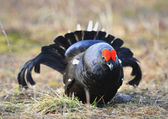 The Black Grouse or Blackgame (Tetrao tetrix). — Stock Photo