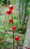 May lily Berrys   — Stock Photo