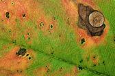 Herbst-blatt-textur — Stockfoto