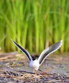 The front of Black-headed Gull (Larus ridibundus) flying — Stock Photo
