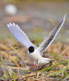Black-headed Gull (Larus ridibundus)  landed — Stock Photo
