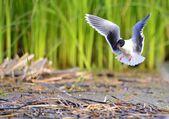 The black-headed gull (Chroicocephalus ridibundus) — Stock Photo