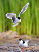 The black-headed gull (Chroicocephalus ridibundus) — Stock Photo