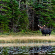 Curious Moose in the forest close to lake — Stock Photo