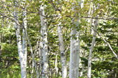 Birch trees — Stock fotografie