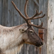 Caribou head with nice antler — Stock Photo