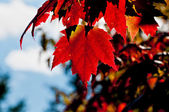 Red Maple tree leaf, back lit — Stock Photo