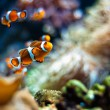 Clownfish beautiful closeup — Stock Photo #35241211