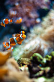 Clownfish a beautiful closeup — Stock Photo