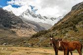 Zwei Pferde unter einem Gletscher — Stockfoto