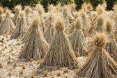 Rice sheaf after harvest on the field — Stock Photo