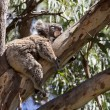 Koala is sleeping on the tree — Stock Photo