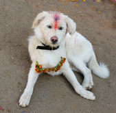 Indian white holy dog — Stock Photo