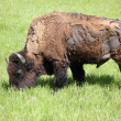 Stock Photo: Bison