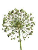 Withered inflorescence wild garlic isolated on white background. — Stock Photo