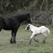 Foal playing beside its mother — Stock Photo