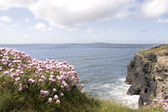 Pink Irish wildflowers on the cliff top — Stock fotografie