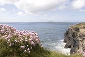 在悬崖顶上的粉红色爱尔兰野花 — 图库照片
