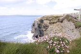Pink Irish wildflowers on the cliffs edge — Stock fotografie