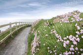 Pink wild flowers along a cliff walk path — Stock fotografie