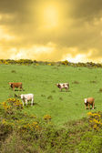Cattle grazing in a field on a hill — Stock Photo