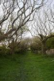 Tree lined path in Ireland — Stock Photo