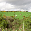 Cattle grazing in an Irish field on a hill — Stok fotoğraf