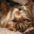 Stock Photo: Yorkie terrier resting in its basket