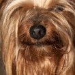 Stock Photo: Cupcake yorkie dog