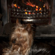 Stock Photo: Yorkie terrier in front of fire
