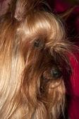 Tiny cupcake yorkie dog — Stock Photo