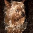 Cupcake yorkie dog relaxing — Stock Photo