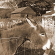 Photo: Irish donkey with its head over the fence