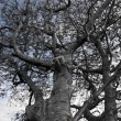 Large grey old tree — Stok fotoğraf