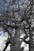 Large grey old tree — Stock Photo