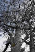 Large grey old tree — Stock Photo
