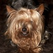 Relaxing cupcake yorkie dog — Stock Photo