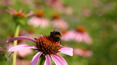Abejorro con flor — Vídeo de Stock