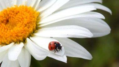 Camomile and ladybug — Stock Video