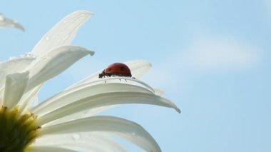 White camomile with ladybug — Stock Video