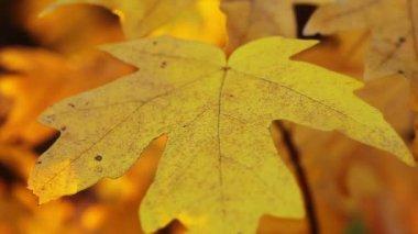 Autumn foliage — Stock Video