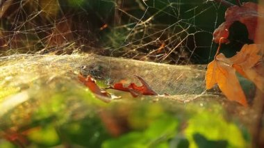 蜘蛛网 — 图库视频影像
