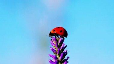 Ladybug on the flower — Stock Video