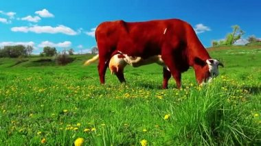 Cow in meadow — Stock Video