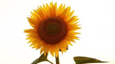 Sunflower — Stockvideo