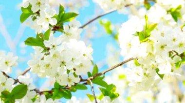 Apple blossom — Stock Video