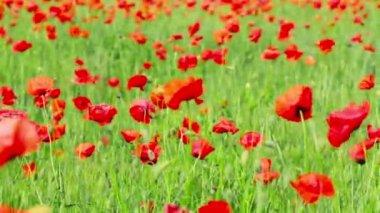 Poppy flowers — Stock Video