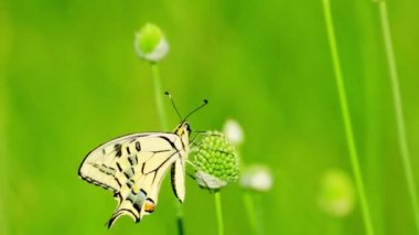 Butterfly on  flower — Stock Video