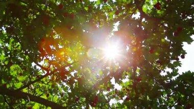 Hawthorn berries — Stock Video
